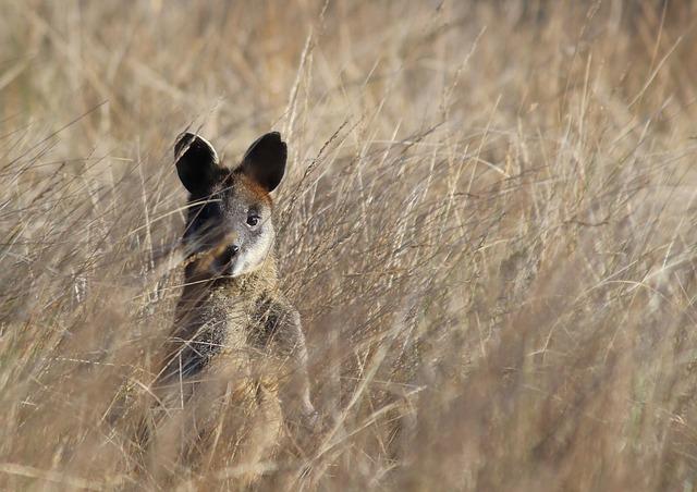malý klokan